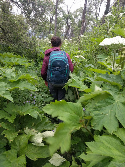 This was the trail for 3/4 of the hike.. Bears could have been anywhere in those bushes.  So we followed the 'trail' singing songs and making lots of noise as to not surprise any bears.